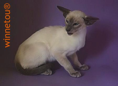 Winnetou's Leopold ... Blue point Siamese SIA a