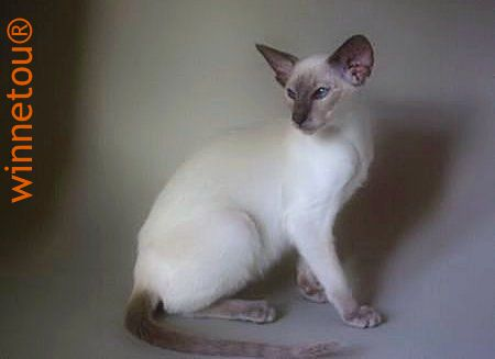 Winnetou's Venus in Velvet ... Lilac point Siamese